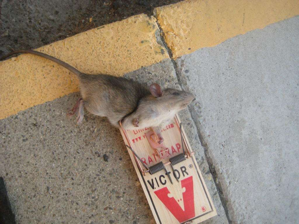 This well fed rat was caught in the same garage. No sign of cannibalism on him. We can deduce that he was the cannibal that ate his buddy.