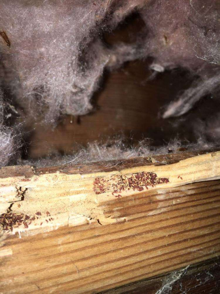 Frass visible inside exposed lumber