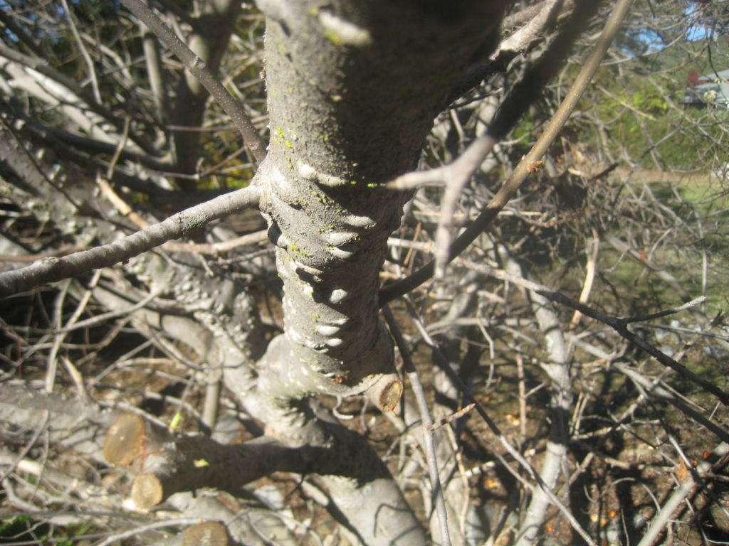 Bumps on buckeye branches.