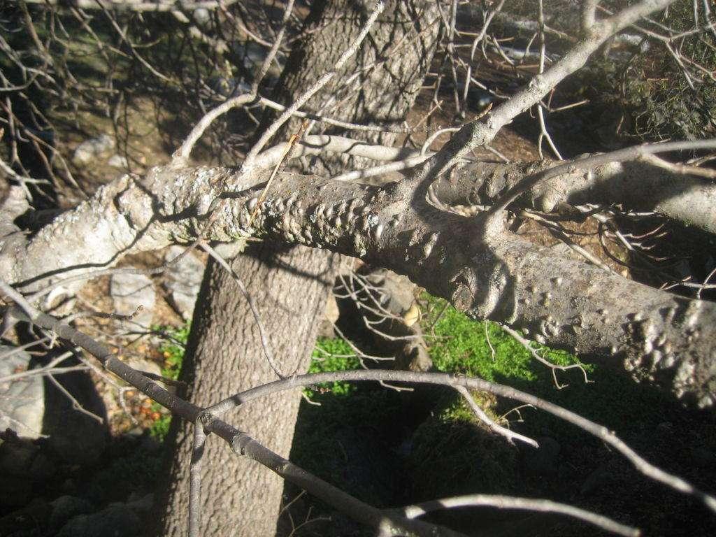 Bumps on branch of buckeye. A valley oak is behind the buckeye.