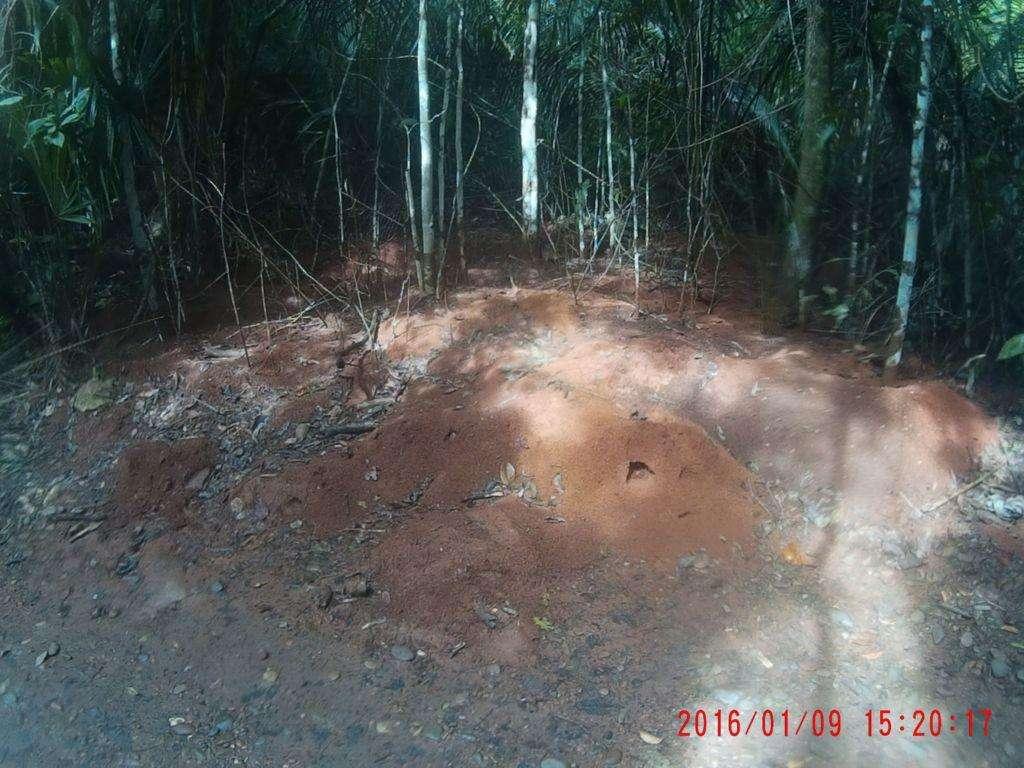 Ant nest. Photo by Karen Taylor, Belize. 1-9-2016
