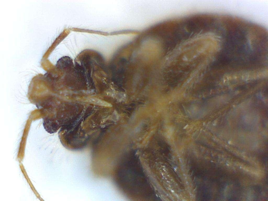Barn Swallow Bugs Foothill Sierra Pest Control