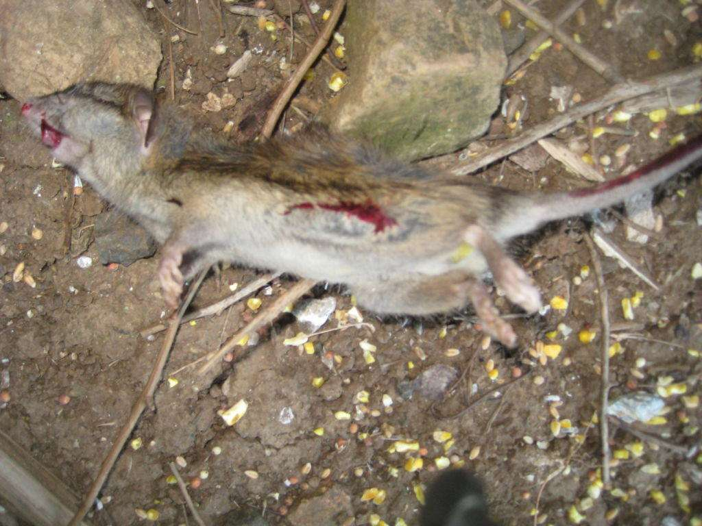Apparent cannibalism of a dead rat at the A24 site