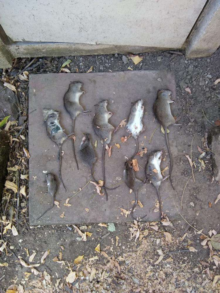 Trevor Cuthill killed 9 rats in one night. 30 August 2018.