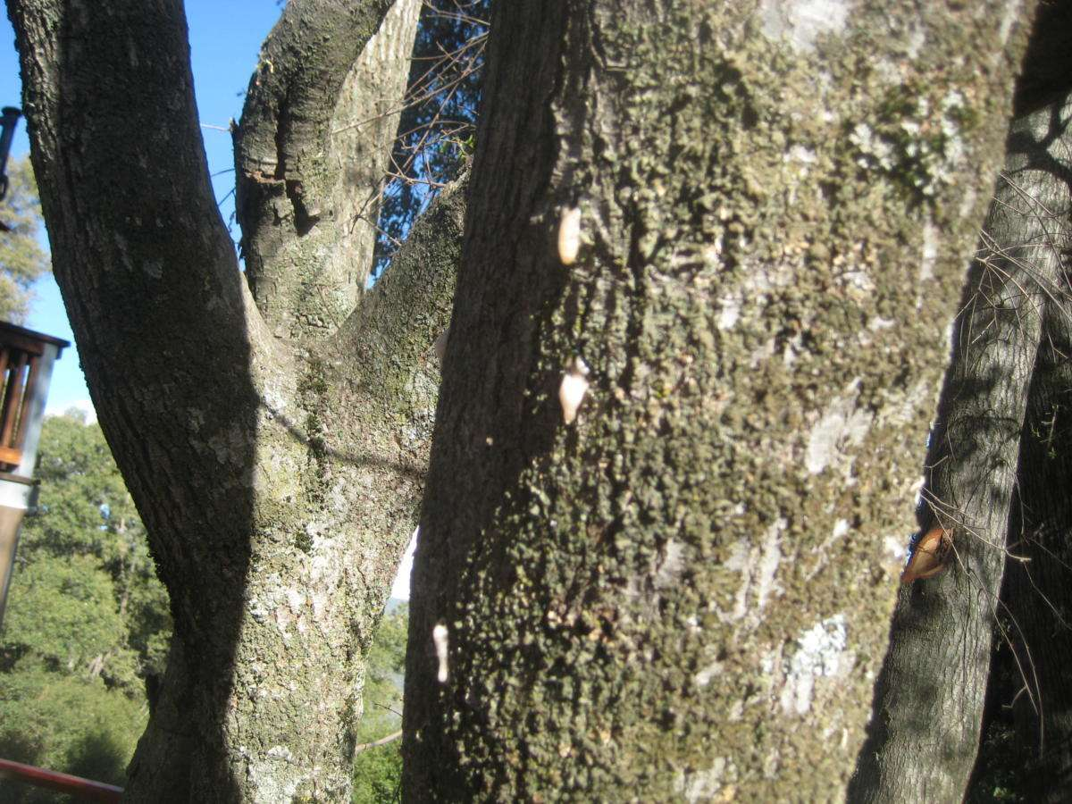 Close-up of foamy bark canker.