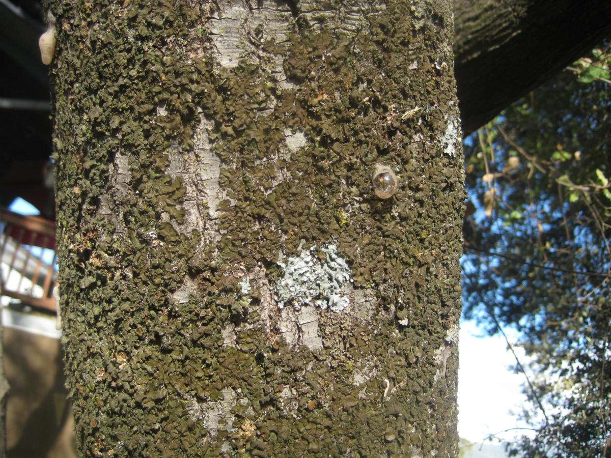 A close-up of a foamy bark canker lesion. I liked this one because of the singularly large bubble on one lesion.