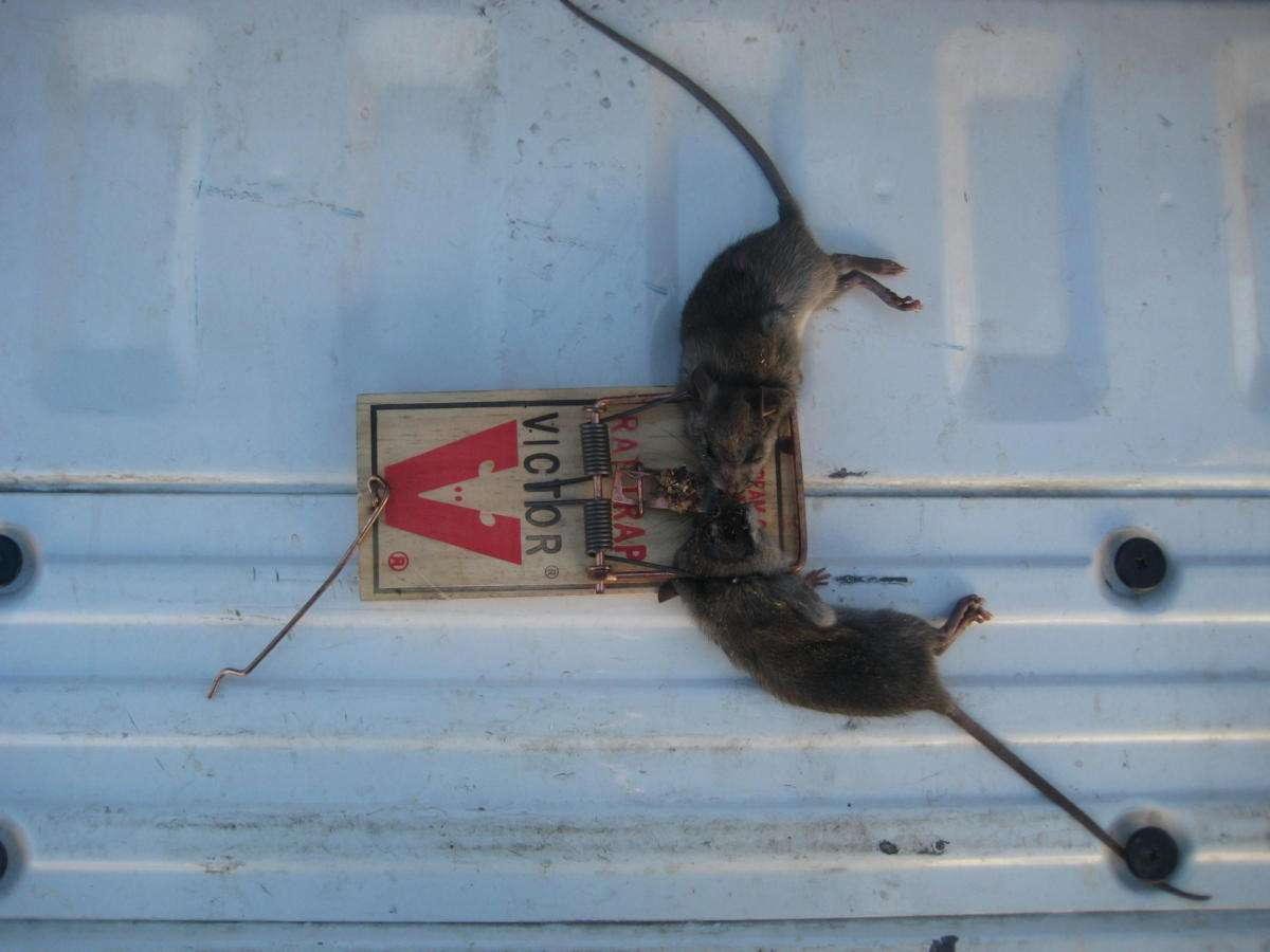 Two roof rats caught in one snap trap. Jason Price. 7 November 2018