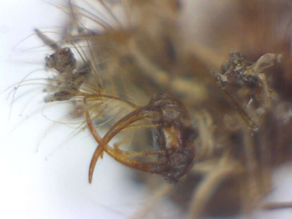 Head of green lacewing larva