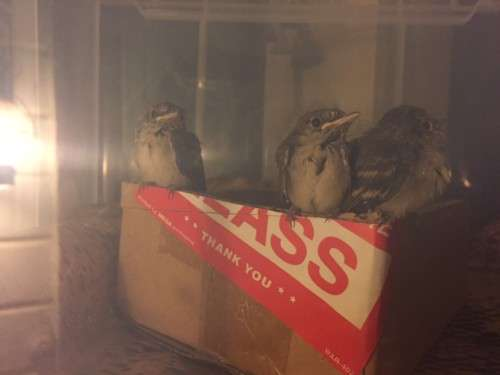 27 June 2019. Western Wood Pewee chicks