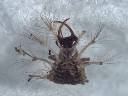 The head and thorax of the unknown species of green lacewing. Photo by Dr. Catherine Ann Tauber.