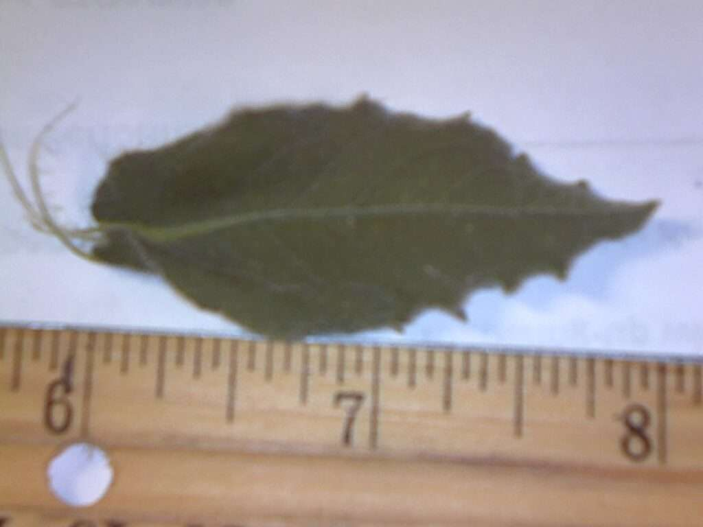 leaf of telegraphwed
